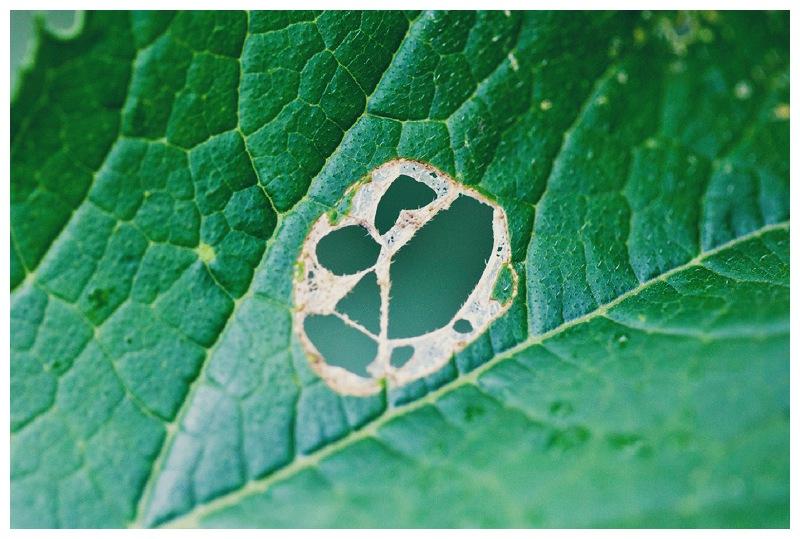 leafdamage